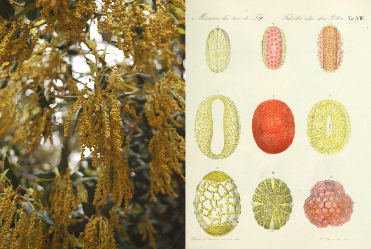 Ueber den Pollen, de Carl Julius Fritzsche